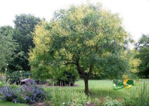 vivaio piante ? real garden sassari - Alberi Sempreverdi Da Giardino A Crescita Rapida